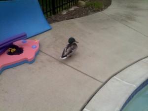 Ducks Around the Pool