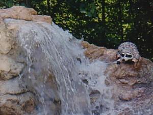 racoonwaterfall